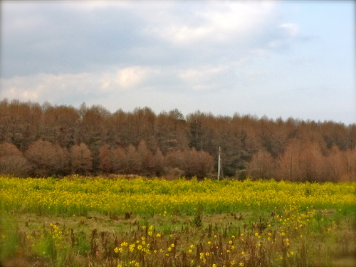 2012/3/11メタセの杜菜の花