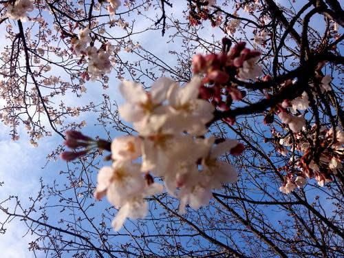 2012年菊池市内の桜