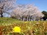 2012/4/1泗水町営グランドの桜