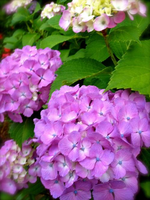 2012/6/16紫陽花