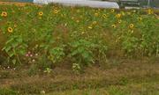 国府の郷裏のひまわり畑