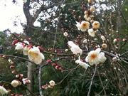 2011/2 事務所横の梅の花